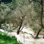 Italy olive tree - 9flats.com